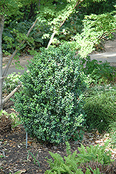 Julia Jane Boxwood (Buxus microphylla 'Julia Jane') at Squak Mountain Nursery