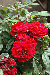 Red Sunblaze® Rose (Rosa 'Meirutral') at Squak Mountain Nursery
