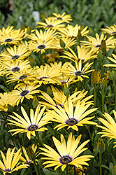 Lemon Symphony African Daisy (Osteospermum 'Lemon Symphony') at Squak Mountain Nursery