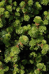 Sherwood Compact Norway Spruce (Picea abies 'Sherwood Compact') at Squak Mountain Nursery