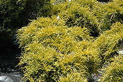 Sea Of Gold Juniper (Juniperus x media 'Sea Of Gold') at Squak Mountain Nursery