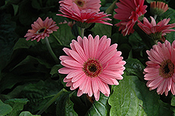 Royal Deep Pink Gerbera Daisy (Gerbera 'Royal Deep Pink') at Squak Mountain Nursery