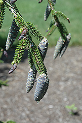 Gowdy Oriental Spruce (Picea orientalis 'Gowdy') at Squak Mountain Nursery