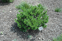 Spaan's Dwarf Shore Pine (Pinus contorta 'Spaan's Dwarf') at Squak Mountain Nursery