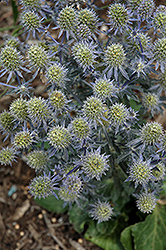 Tiny Jackpot Sea Holly (Eryngium planum 'Tiny Jackpot') at Squak Mountain Nursery