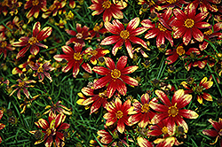 Route 66 Tickseed (Coreopsis verticillata 'Route 66') at Squak Mountain Nursery