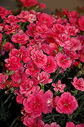 EverLast™ Dark Pink Pinks (Dianthus 'EverLast Dark Pink') at Squak Mountain Nursery