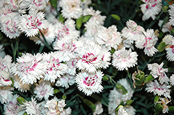 EverLast™ White plus Eye Pinks (Dianthus 'EverLast White plus Eye') at Squak Mountain Nursery