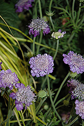 Mariposa Violet Pincushion Flower (Scabiosa columbaria 'Mariposa Violet') at Squak Mountain Nursery