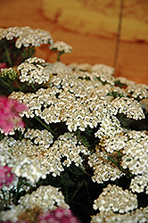 New Vintage White Yarrow (Achillea millefolium 'Balvinwite') at Squak Mountain Nursery