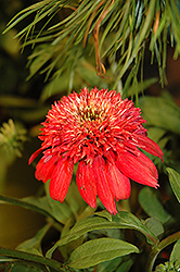 Double Scoop™ Cranberry Coneflower (Echinacea 'Balscanery') at Squak Mountain Nursery