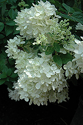 Bombshell Hydrangea (Hydrangea paniculata 'Bombshell') at Squak Mountain Nursery