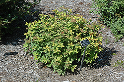 Double Play® Big Bang™ Spirea (Spiraea 'Tracy') at Squak Mountain Nursery