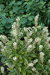 Hummingbird Summersweet (Clethra alnifolia 'Hummingbird') at Squak Mountain Nursery