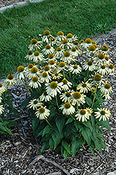 Sombrero® Sandy Yellow Coneflower (Echinacea 'Balsomselo') at Squak Mountain Nursery