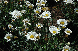 Darling Daisy Shasta Daisy (Leucanthemum x superbum 'Darling Daisy') at Squak Mountain Nursery