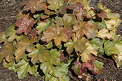 Carnival Coffee Bean Coral Bells (Heuchera 'Coffee Bean') at Squak Mountain Nursery