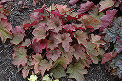 Carnival Watermelon Coral Bells (Heuchera 'Watermelon') at Squak Mountain Nursery