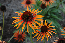 Flame Thrower Coneflower (Echinacea 'Flame Thrower') at Squak Mountain Nursery
