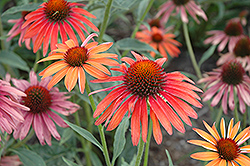 Hot Summer Coneflower (Echinacea 'Hot Summer') at Squak Mountain Nursery