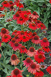 Sombrero® Salsa Red Coneflower (Echinacea 'Balsomsed') at Squak Mountain Nursery