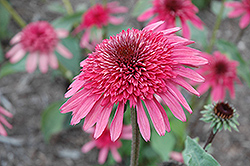 Supreme Elegance Coneflower (Echinacea 'Supreme Elegance') at Squak Mountain Nursery