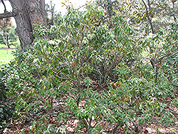 Karenoma Pieris (Pieris 'Karenoma') at Squak Mountain Nursery