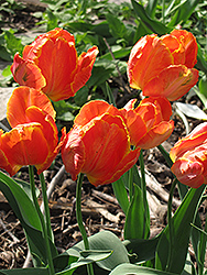 Orange Favorite Tulip (Tulipa 'Orange Favorite') at Squak Mountain Nursery