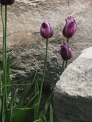 Passionale Tulip (Tulipa 'Passionale') at Squak Mountain Nursery