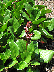 Baby Doll Bergenia (Bergenia 'Baby Doll') at Squak Mountain Nursery