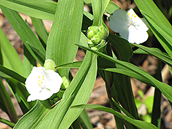 White Spiderwort (Tradescantia x andersoniana 'Alba') at Squak Mountain Nursery