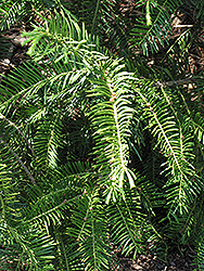 Japanese Plum Yew (Cephalotaxus harringtonia) at Squak Mountain Nursery