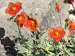 Henfield Brilliant Rock Rose (Helianthemum 'Henfield Brilliant') at Squak Mountain Nursery