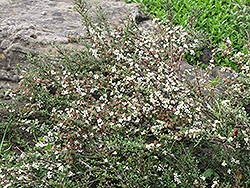 Thyme Leaf Cotoneaster (Cotoneaster microphyllus 'var. thymifolius') at Squak Mountain Nursery