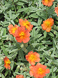 Fire Dragon Rock Rose (Helianthemum 'Fire Dragon') at Squak Mountain Nursery