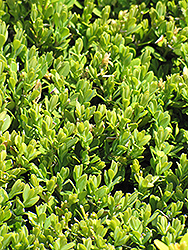 Compact Korean Boxwood (Buxus microphylla 'Compacta') at Squak Mountain Nursery