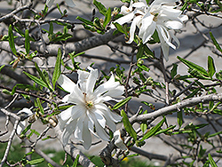 Royal Star Magnolia (Magnolia stellata 'Royal Star') at Squak Mountain Nursery