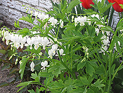 White Bleeding Heart (Dicentra spectabilis 'Alba') at Squak Mountain Nursery
