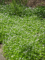 Sweet Woodruff (Galium odoratum) at Squak Mountain Nursery