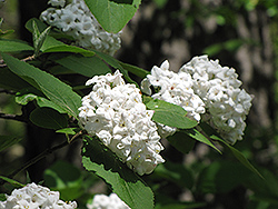Fragrant Viburnum (Viburnum x carlcephalum) at Squak Mountain Nursery