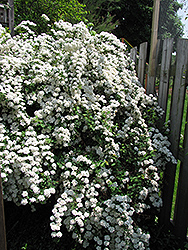 Vanhoutte Spirea (Spiraea x vanhouttei) at Squak Mountain Nursery
