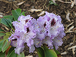 Blue Peter Rhododendron (Rhododendron 'Blue Peter') at Squak Mountain Nursery