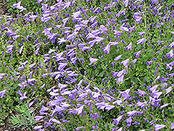 Birch Hybrid Bellflower (Campanula 'Birch Hybrid') at Squak Mountain Nursery