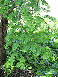 Dawn Redwood (Metasequoia glyptostroboides) at Squak Mountain Nursery