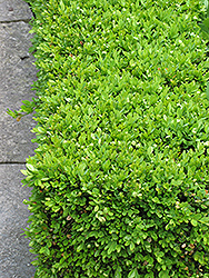 Green Velvet Boxwood (Buxus 'Green Velvet') at Squak Mountain Nursery