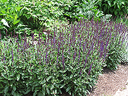 Caradonna Sage (Salvia x sylvestris 'Caradonna') at Squak Mountain Nursery
