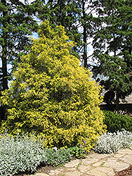 Golden Threadleaf Falsecypress (Chamaecyparis pisifera 'Filifera Aurea') at Squak Mountain Nursery