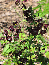 Samobor Cranesbill (Geranium phaeum 'Samobor') at Squak Mountain Nursery