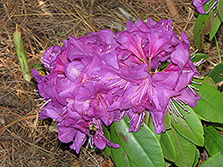 Northern Starburst Rhododendron (Rhododendron 'Northern Starburst') at Squak Mountain Nursery