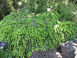 Cole's Prostrate Hemlock (Tsuga canadensis 'Cole's Prostrate') at Squak Mountain Nursery